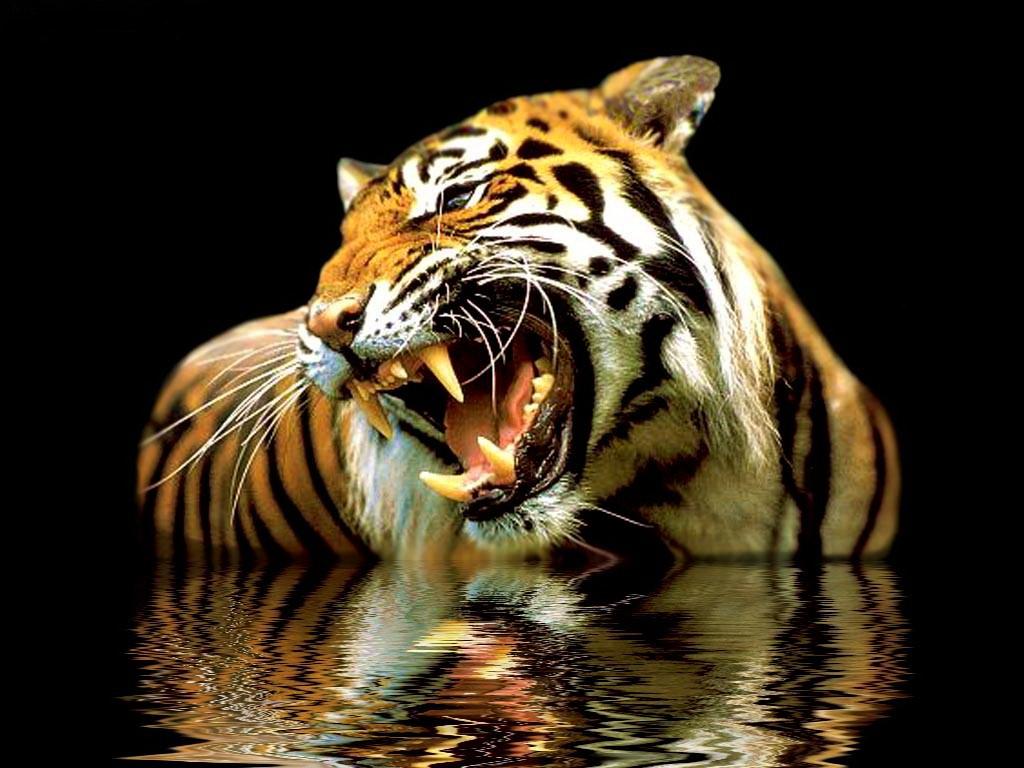 тигры - Животные - картинки по разделам ...: kartinko.ucoz.ru/photo/zhivotnye/tigry/25